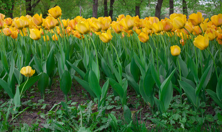 tulips in green grass: Many yellow tulips in the green grass Stock Photo