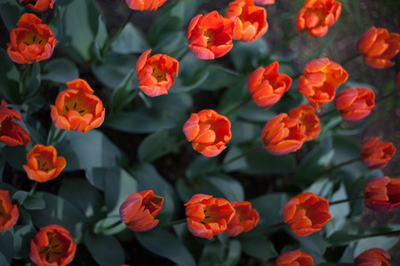 greenery: background of orange roses and greenery