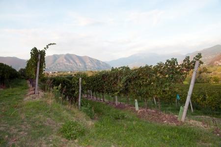 Grapevine Zeilen - Italien, Franciacorta Standard-Bild - 15563659