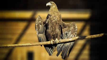 Eaglesitting op een tak