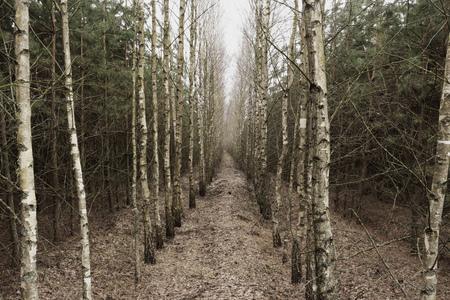 Berkenbosje die in de verte terugkomt Stockfoto