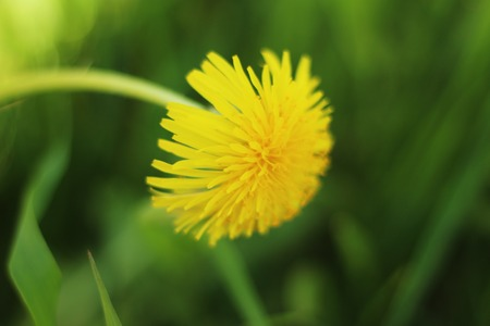 Yellow dandelion leaned over the grass