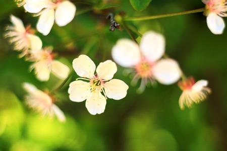 White flower of fruit tree Stock Photo