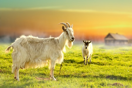 Two goats grazing in farmland