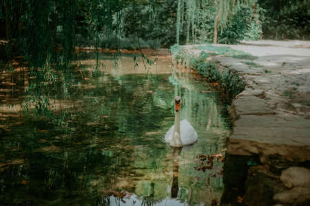 The white swan swims in the pond. Photo of a swan in the park in the water 스톡 콘텐츠