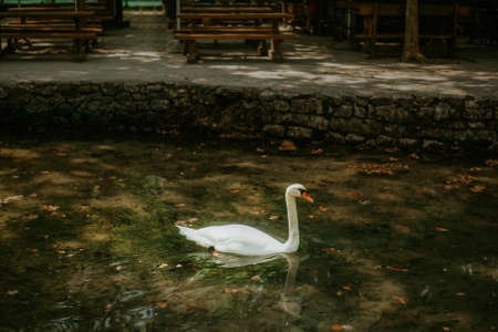 The white swan swims in the pond. Photo of a swan in the park in the water