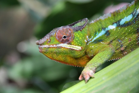 Moving colorful chameleon on a leaf  Stock Photo