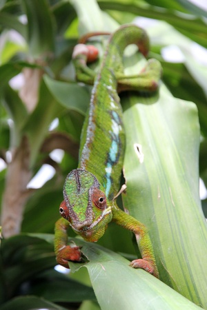 Moving colorful chameleon on a leaf  Stock Photo - 13128804