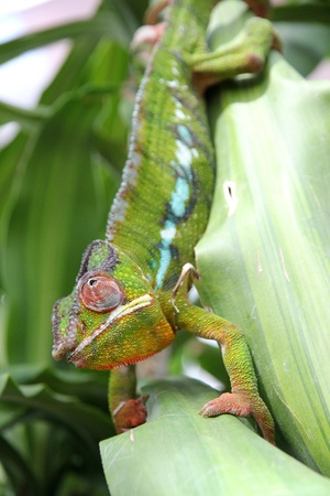 africa chameleon: Moving colorful chameleon on a leaf  Stock Photo