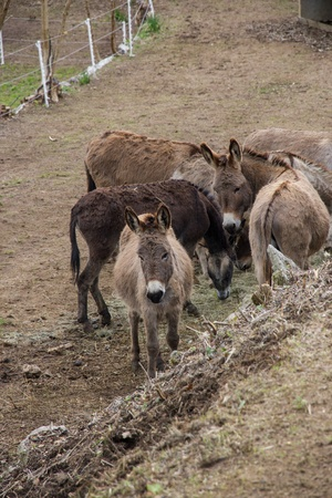 Herd of donkeys on a farm Stock Photo - 13319809
