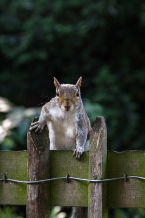 A squirrel alert on a wooden fence Stock Photo