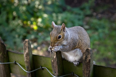 A squirrel eating on a wooden fence
