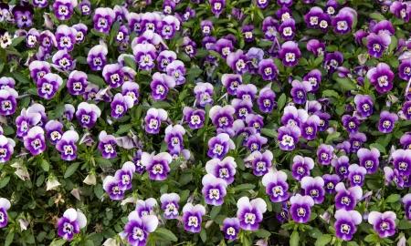 violets: Lawn of violets