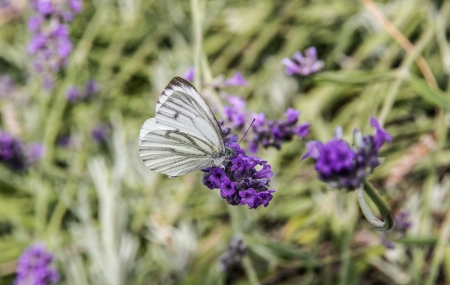 Anthocharis cardamines female butterfly on flowers photo