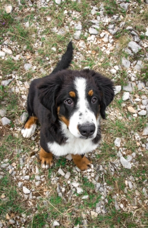 Bernese Mountain Dog puppy in a meadow photo