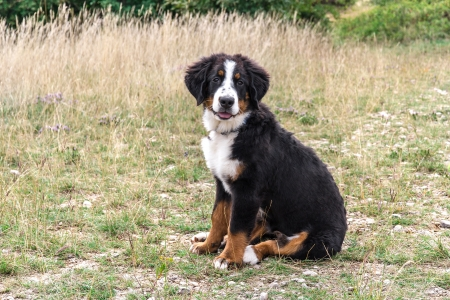 Bernese Mountain Dog puppy in a meadow