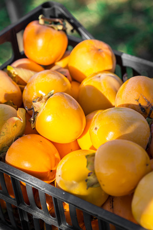 Organic persimmons Stock Photo