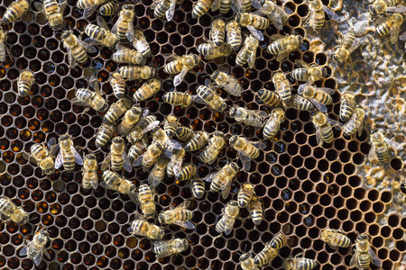 View of the working bees on honeycells