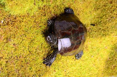 federally: European bog turtle - Emys orbicularis environmental claw