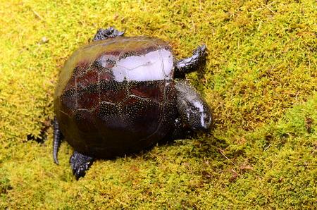 emys: European bog turtle - Emys orbicularis environmental claw