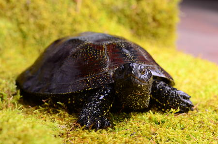 bog: European bog turtle - Emys orbicularis environmental claw