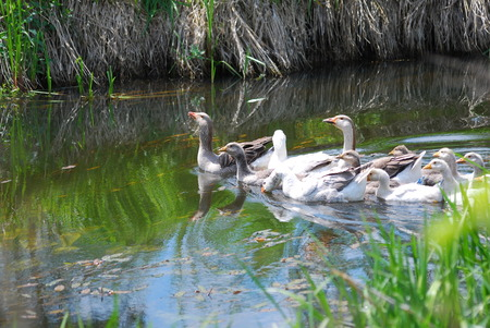 white fronted goose: Two geese, male and female, swim together on the river. Stock Photo