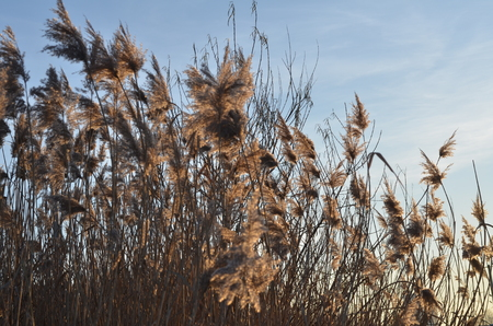 sway: Swaying field of Feather Reed Grass on American midwest prairie in autumn. Stock Photo