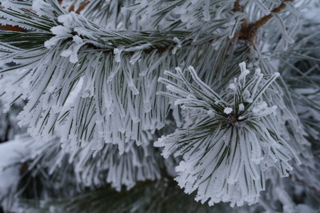 Abstract winter background with fluffy snow, snowflakes and needles on the branches of spruce closeup. Stock Photo