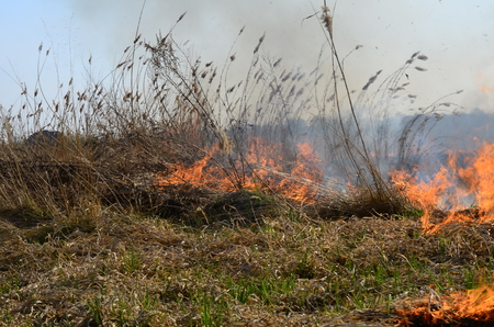 Cleaning the fields of the reeds and dry grass. Natural disaster. Burning dry grass Stock Photo