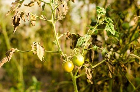 green tomatoes on tomato tree. Stock Photo