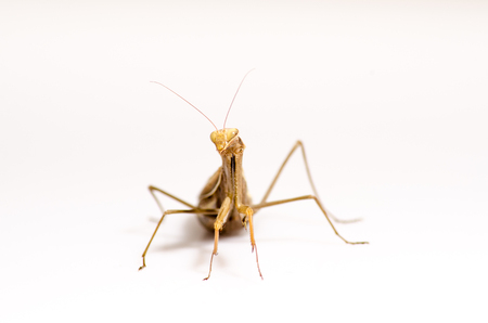 mantid: Wandering Violin Mantis, Gongylus gongylodes, in front of white background.