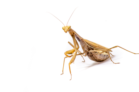 Wandering Violin Mantis, Gongylus gongylodes, in front of white background.