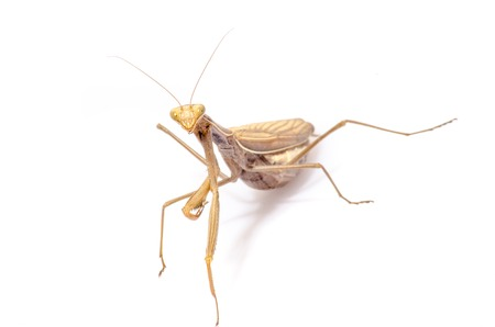 wildanimal: Wandering Violin Mantis, Gongylus gongylodes, in front of white background.