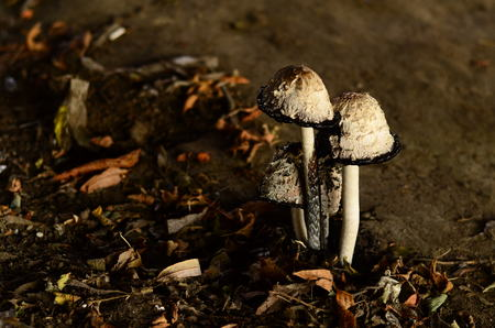 Poisonous mushrooms growing under the trees in the garden.