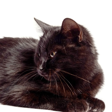 moggy: Black Cat sitting and looking at the camera, isolated on white