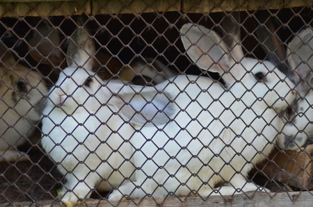 rabbits in a cage 写真素材