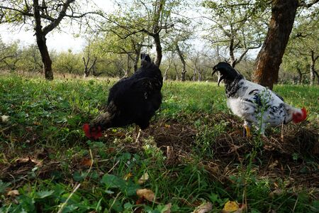 chicken in the nature Reklamní fotografie
