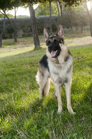 shepards: German shepherd dog at the park