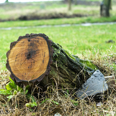 resulting: Tree stump with recent saw cut resulting from the trees removal from the park following a severe storm.