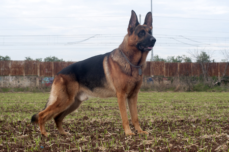 German shepherd dog at the park.