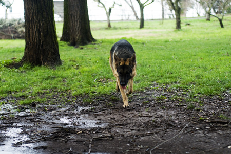 shepards: German shepherd dog at the park.