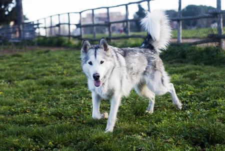 grey eyed: alaskan malamute dog at the park