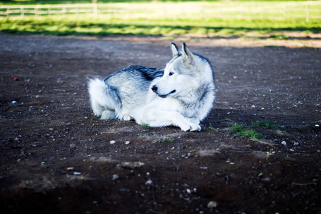 malamute: alaskan malamute dog at the park