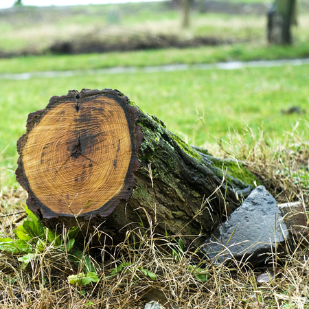 recent: Tree stump with recent saw cut resulting from the trees removal from the park following a severe storm.