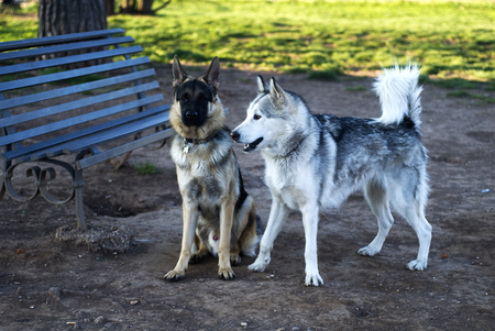 shepperd: alaskan malamute an a German Shepperd dog at the park