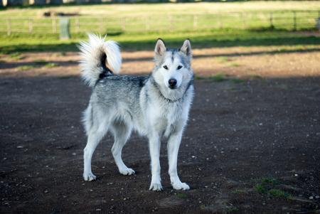 grey eyed: alaskan malamute dog Stock Photo
