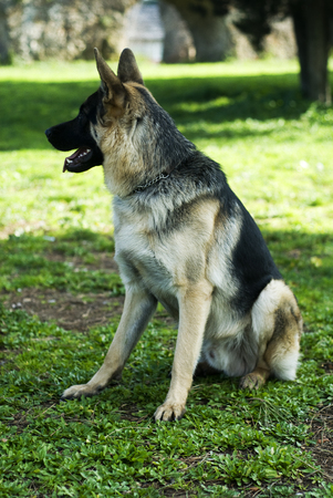 German shepherd dog at the park. Stok Fotoğraf - 117668857