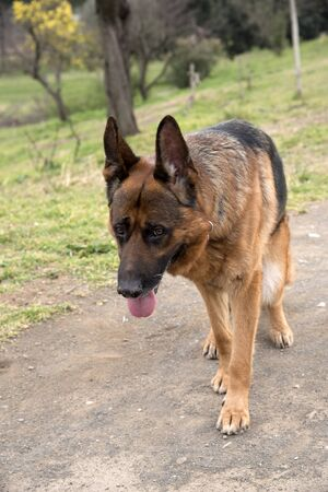 German shepherd dog walking at the park in Rome