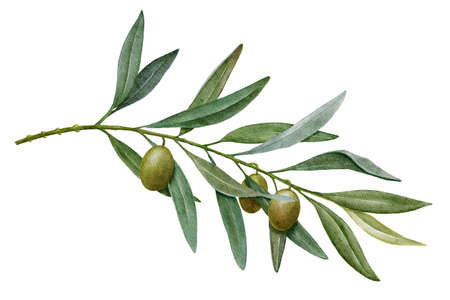 Olive branch with green olives watercolor illustration