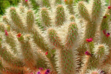 cholla cactus: Cholla Cactus in Arizona